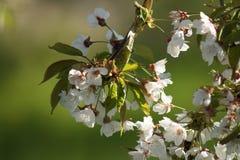 яблоко цветет вал весны Стоковое Фото