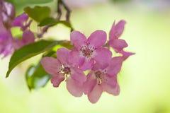 яблоко цветет вал пинка макроса Стоковые Изображения
