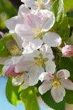яблоко цветет вал Стоковые Фотографии RF