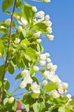 яблоко цветет вал Стоковое Изображение RF