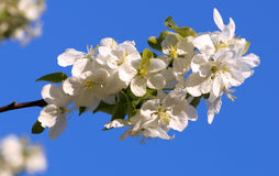 яблоко цветет вал Стоковые Изображения