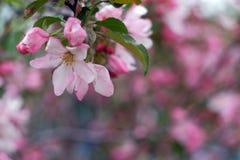 яблоко цветет вал Стоковые Изображения RF