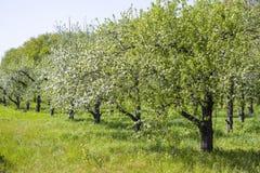 Яблоневый сад весны Стоковое Изображение