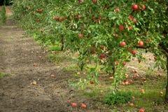 Яблоневый сад осени стоковая фотография