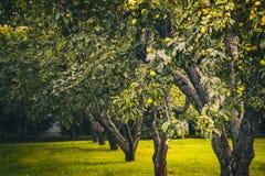 Яблоневый сад с сериями свежих яблок, который нужно выбрать Стоковая Фотография