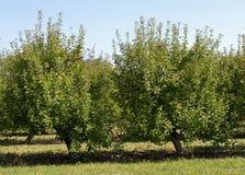 Яблони карлика на крае сада Стоковое Изображение RF
