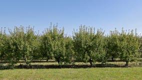 Яблони карлика на крае сада Стоковые Изображения RF