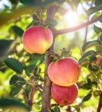` ` Яблони красное главное стоковое изображение rf