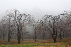 Яблони предусматривали во льду в тумане стоковые фото