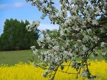 Яблони с предпосылкой поля rapse стоковая фотография rf