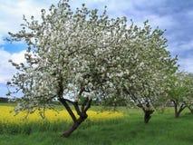 Яблони с предпосылкой поля rapse стоковые фотографии rf