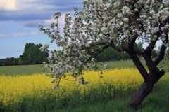 Яблони с предпосылкой поля rapse стоковые фото