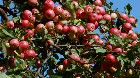 яблонь яблока Стоковое фото RF