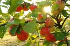 яблонь стоковое фото rf