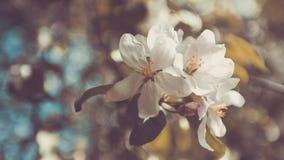 Яблоня весны, белые цветки, пастельный тонизировать Стоковое фото RF
