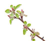 Яблоня ветви с бутонами весны Стоковое Изображение
