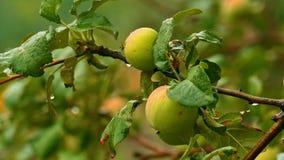 Яблоня в дожде видеоматериал