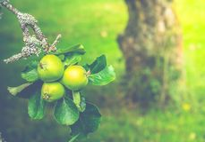 Яблоня в лете стоковое изображение