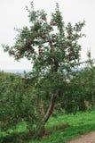 Яблоня в саде с зрелыми красными яблоками Стоковое Фото