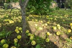 Яблоня в саде с упаденными яблоками на том основании под им Стоковые Изображения RF