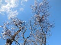 Яблоня в цветени Стоковое Фото