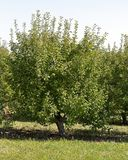 Яблоня карлика на крае сада Стоковое Изображение RF