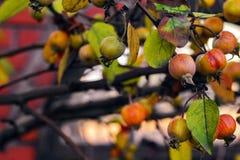 яблоня одичалая Стоковые Фото