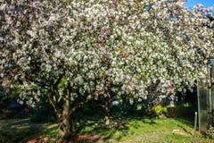 Яблоня с белыми цветками стоковые фото
