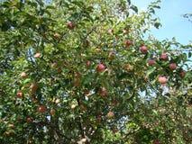 Яблоня с зрелыми яблоками стоковое фото rf