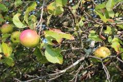 Яблоня с красным цветом и яблоками золота Стоковые Изображения