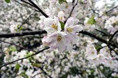 Яблоня цветет Стоковые Фото