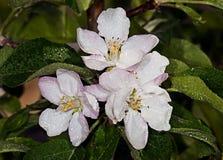 Яблоня Яблок-дерева белого цветка Стоковое Изображение