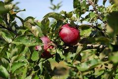 яблоня стоковое фото