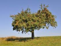 яблоня Стоковая Фотография
