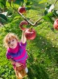 Яблоки выбранные девушкой стоковая фотография rf