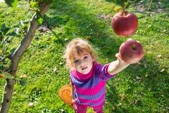 Яблоки выбранные девушкой стоковая фотография
