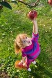 Яблоки выбранные девушкой стоковое фото