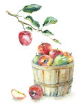 Яблоки в корзине и на ветви Стоковое Изображение RF