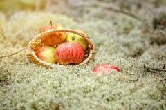 Яблоки в корзине на мхе стоковое изображение