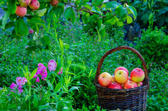 Яблоки в саде стоковые изображения