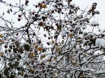 Яблоки зимы Стоковые Изображения RF