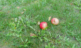 яблоки зрелые Стоковые Фотографии RF