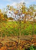 Яблоки и ветробои крабов Стоковое Фото