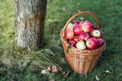 Яблоки корзины полные Стоковое Фото