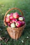 Яблоки корзины полные Стоковое Изображение
