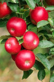 яблоки красные Стоковые Фотографии RF