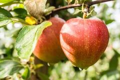 яблоки красные Стоковое Изображение RF