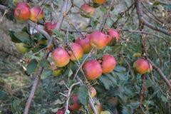 яблоки красные Стоковые Изображения RF