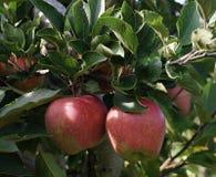 Яблоки, красный цвет, сад Стоковое фото RF