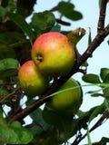 Яблоки наследия зрея вдоль пути страны, острова Iona, Sco Стоковое Изображение RF